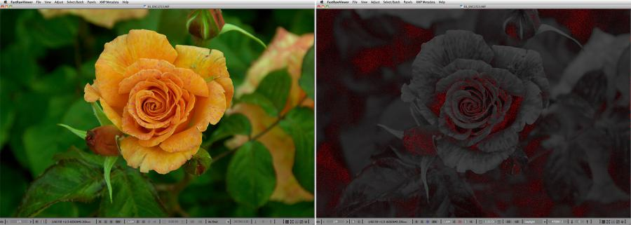 FastRawViewer. Just a rose. ShadowBoost, FocusPeaking, Per-channel View