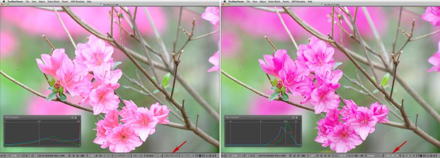 FastRawViewer. Pink Azaleas. False clipping due to white balance application