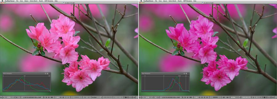 FastRawViewer. Pink Azaleas. Hottest exposure for JPEG, but Raw is underexposed